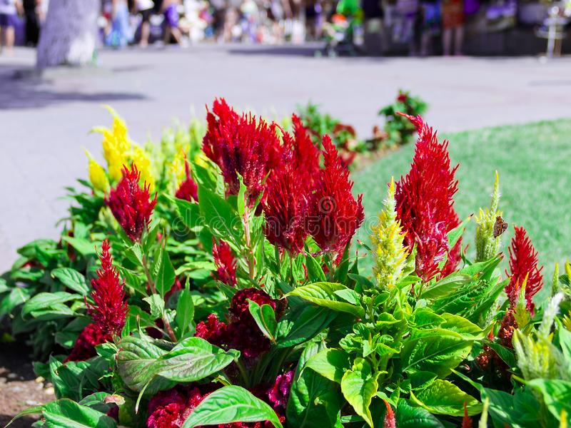 Belles fleurs jaunes et rouges de crête sur un fond de ciel bleu photo libre de droits