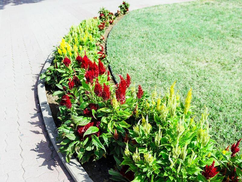 Belles fleurs jaunes et rouges de crête sur un fond de ciel bleu images libres de droits
