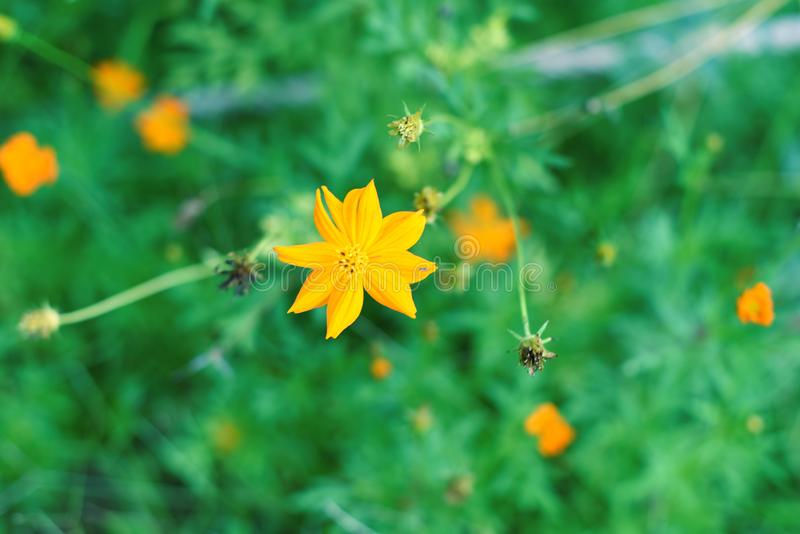 Belles fleurs jaunes qui fleurissent photos stock
