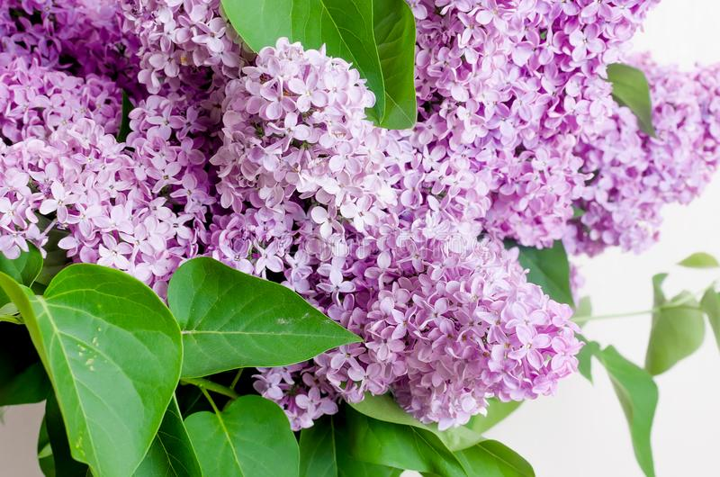 Belles fleurs lilas images libres de droits