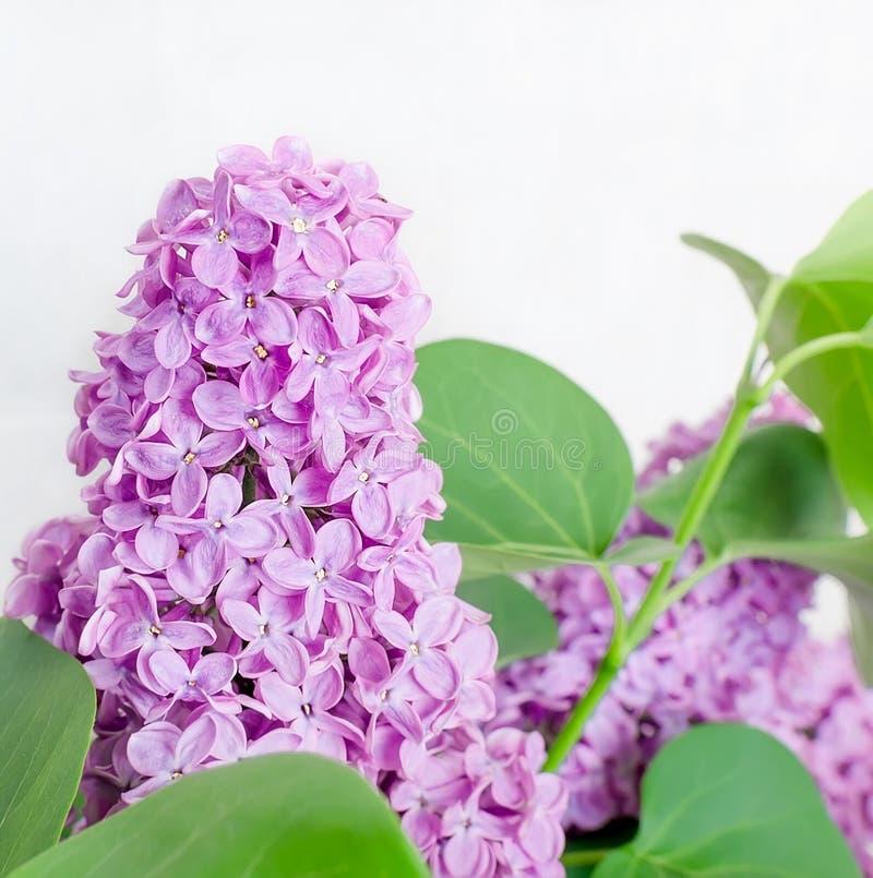 Belles fleurs lilas image libre de droits