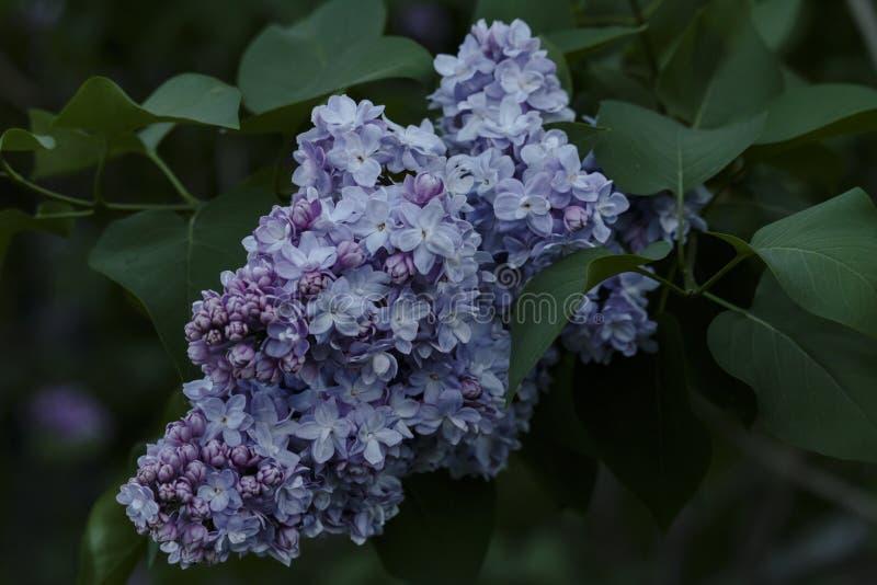 Belles fleurs lilas de plan rapproché image stock
