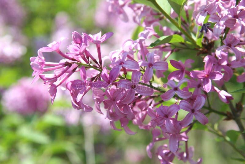 Belles fleurs lilas pourprées image stock
