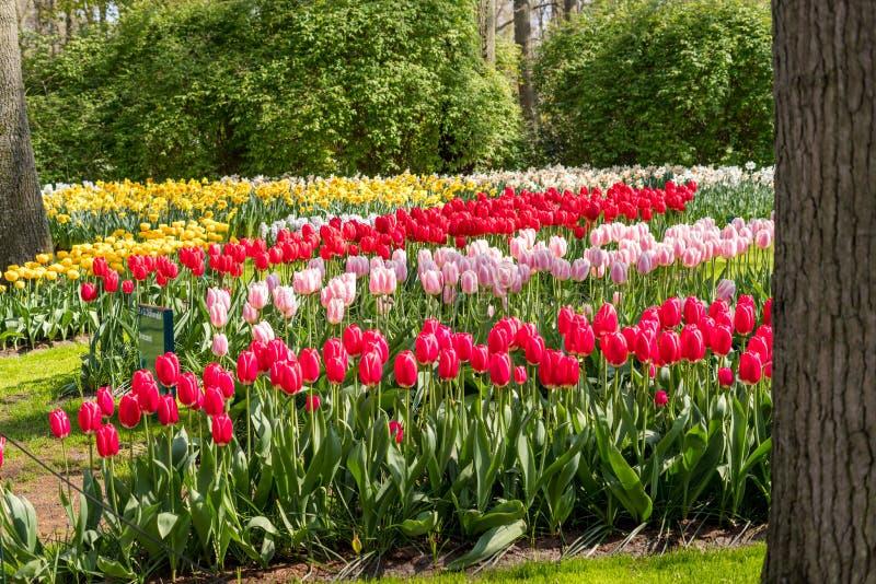 Belles fleurs néerlandaises photographie stock libre de droits