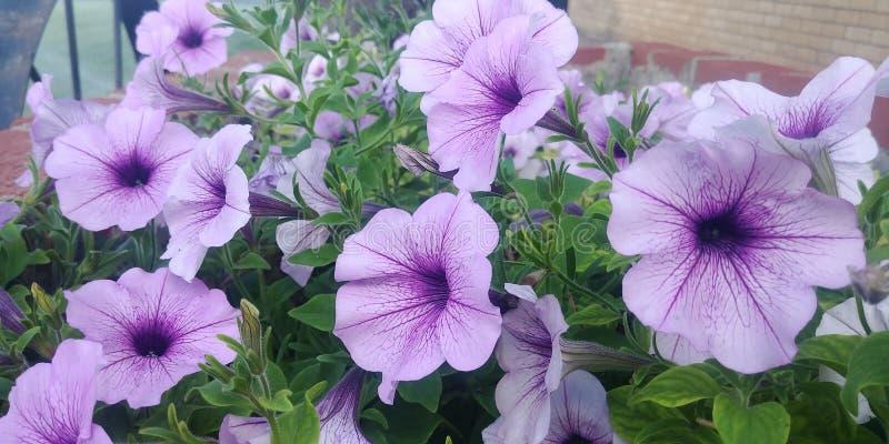 Belles fleurs pourprées photographie stock