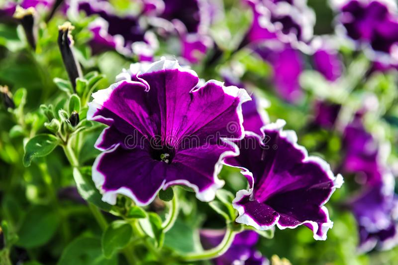 Belles fleurs pourpres avec la marge blanche et l'effet métallique photo libre de droits