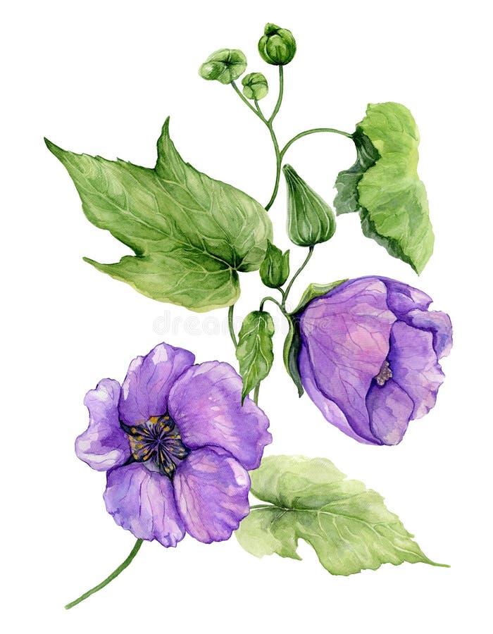 Belles fleurs pourpres d'abutilon sur une tige avec les feuilles vertes d'isolement sur le fond blanc illustration stock