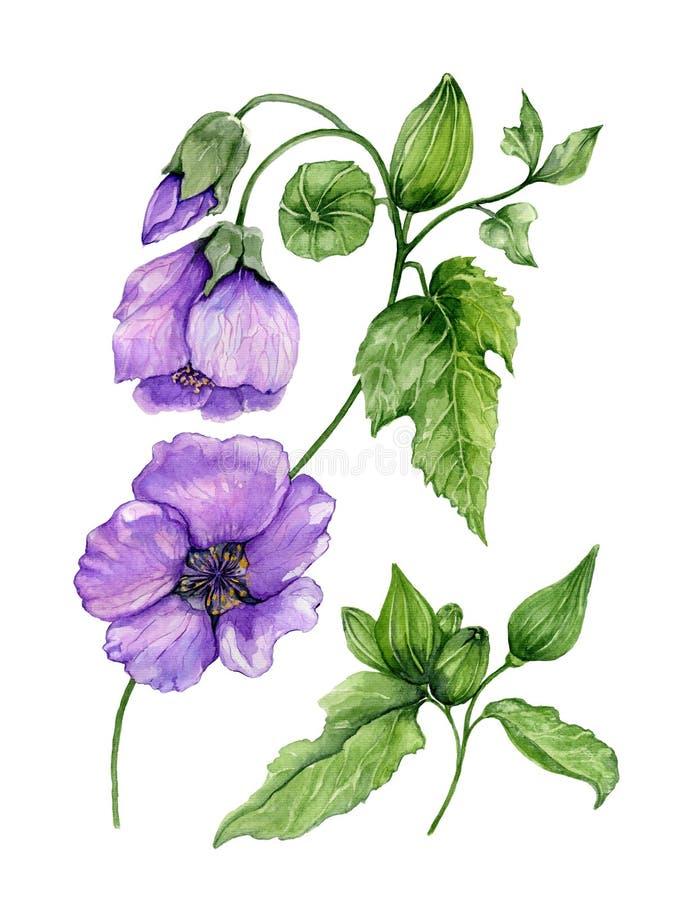 Belles fleurs pourpres d'abutilon sur une tige avec les feuilles vertes d'isolement sur le fond blanc Peinture d'aquarelle illustration de vecteur
