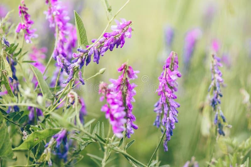 Belles fleurs pourpres de vesce d'oiseau image stock