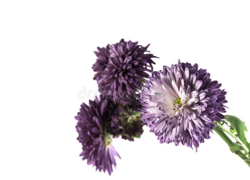 Belles fleurs pourpres sur un fond blanc d'isolement photos stock
