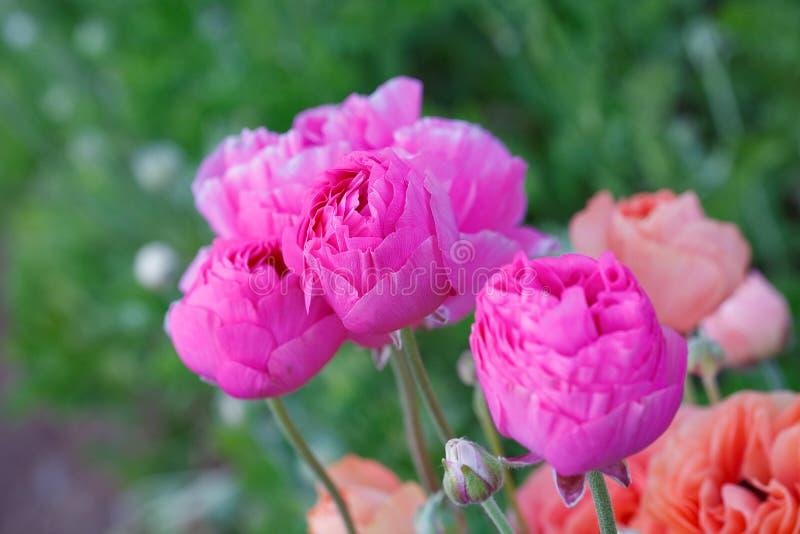 Belles fleurs roses image stock