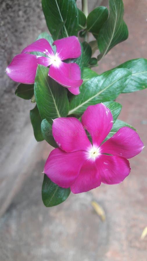 Belles fleurs roses photographie stock