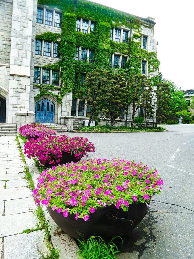 Belles fleurs roses dans le lit de fleur et la vigne verte sur le vieux mur de roche de bâtiment image stock