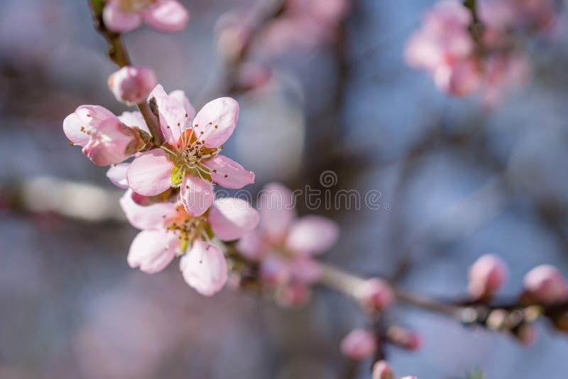 Belles fleurs roses de floraison de pêche sur des branches Ressort d'avril images stock