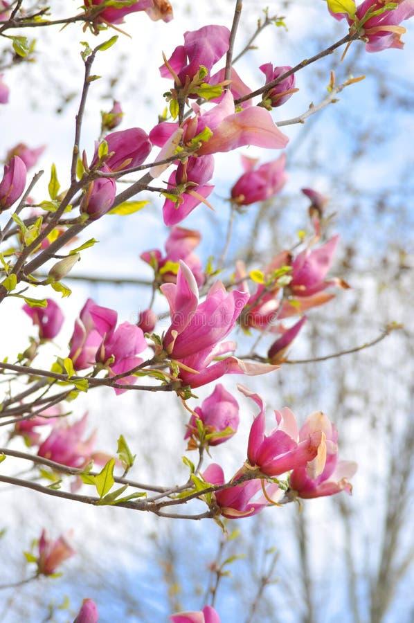 Belles fleurs roses de magnolia de ressort sur une branche d'arbre image libre de droits