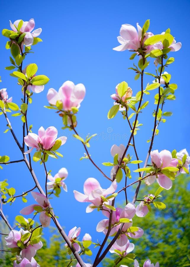 Belles fleurs roses de magnolia sur le fond de ciel bleu Image florale de ressort photos stock
