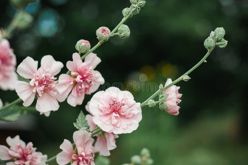 Belles fleurs roses de mauve dans le jardin botanique images stock