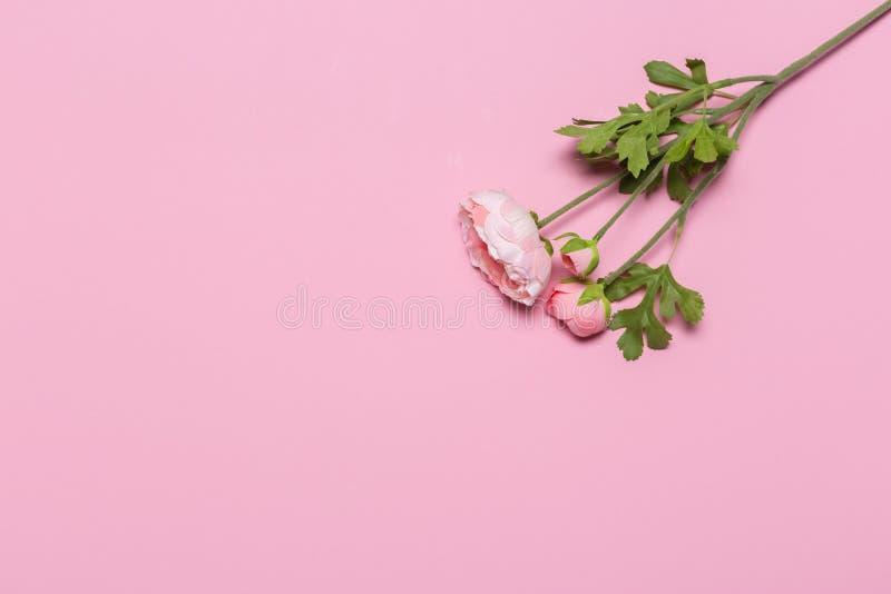 Belles fleurs roses de pivoine sur le fond rose image libre de droits