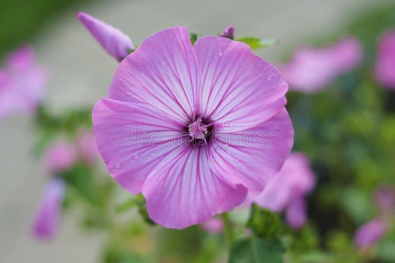 Belles fleurs roses des trimestris annuels de Lavatera de mauve après pluie photographie stock libre de droits