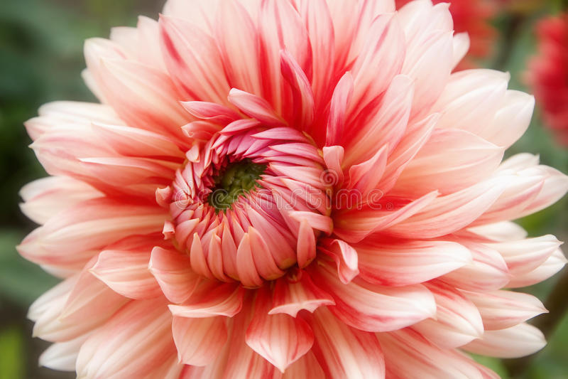 Belles fleurs roses et crème de dahlia photographie stock
