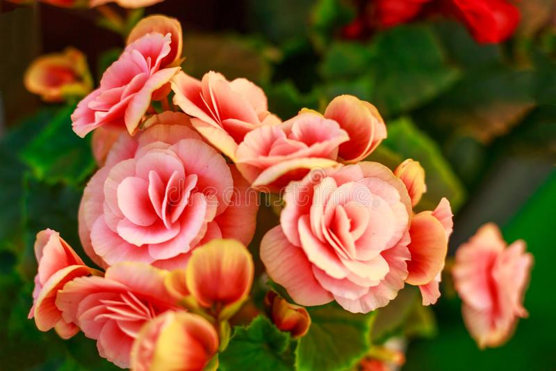 Belles fleurs roses, floraison abondante photos stock