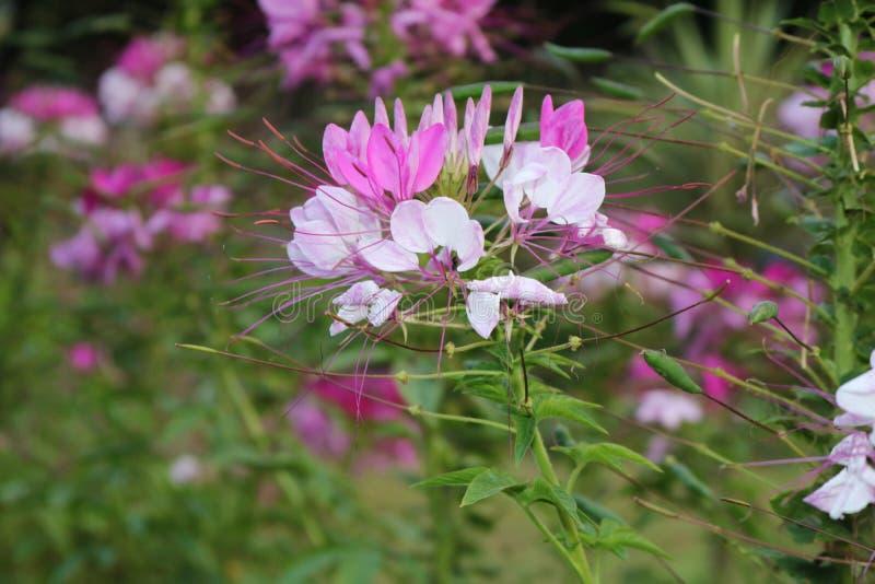 Belles fleurs roses foncées d'herbe photos libres de droits