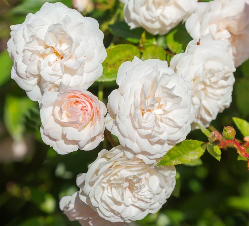 Belles fleurs roses pâle-roses image stock
