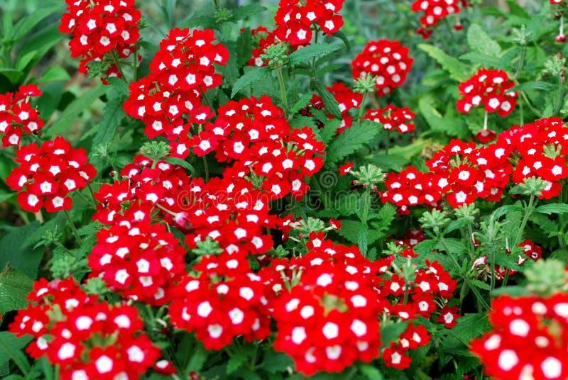 belles fleurs rouges de verveine dans un jardin image stock image du formel vert 31553425. Black Bedroom Furniture Sets. Home Design Ideas