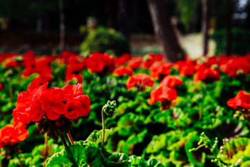 Belles fleurs rouges en parc photographie stock