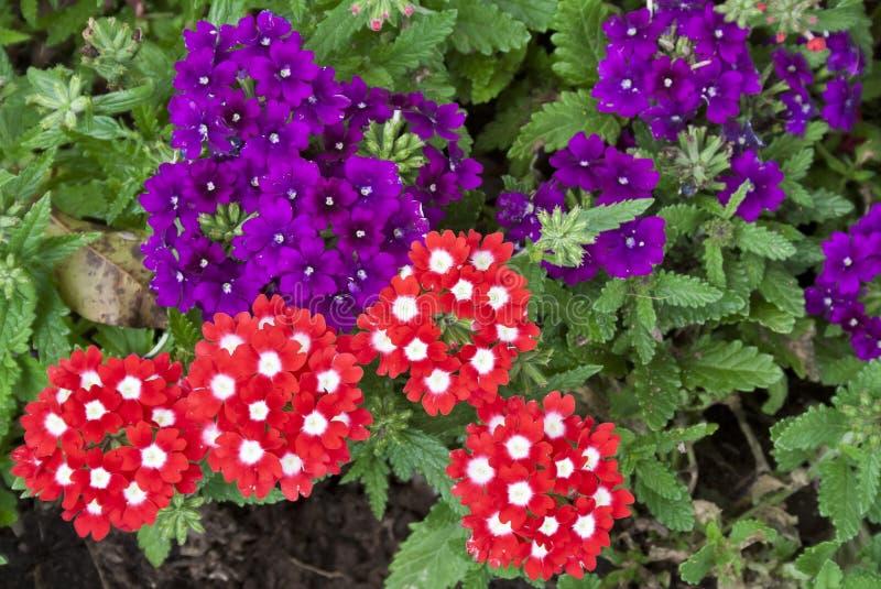 belles fleurs rouges et pourpr es de verveine photo stock image 25345796. Black Bedroom Furniture Sets. Home Design Ideas