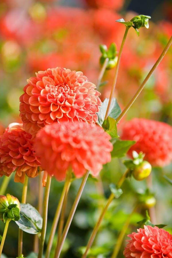 Belles fleurs rouges macro photos libres de droits