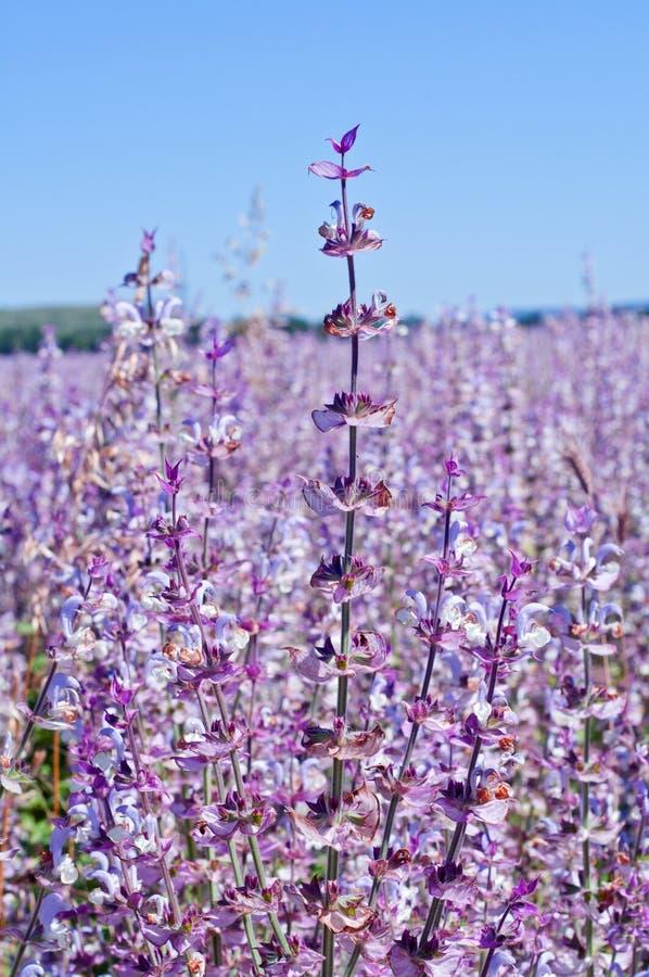 Belles fleurs sages de fleurs dans le pré d'été images libres de droits