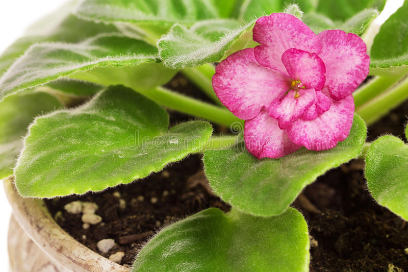 Belles fleurs violettes dans le pot photographie stock
