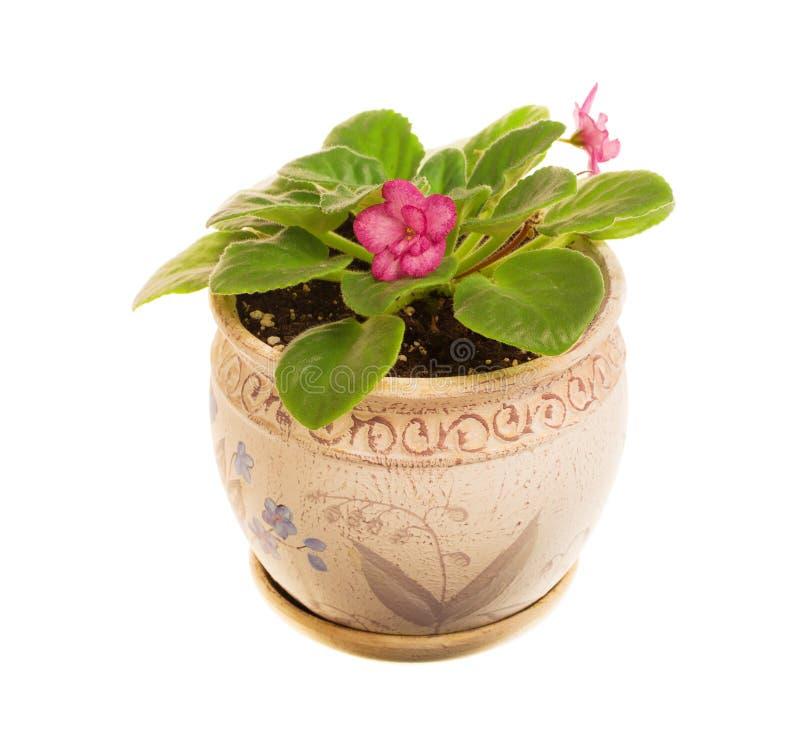 Belles fleurs violettes dans le pot images libres de droits