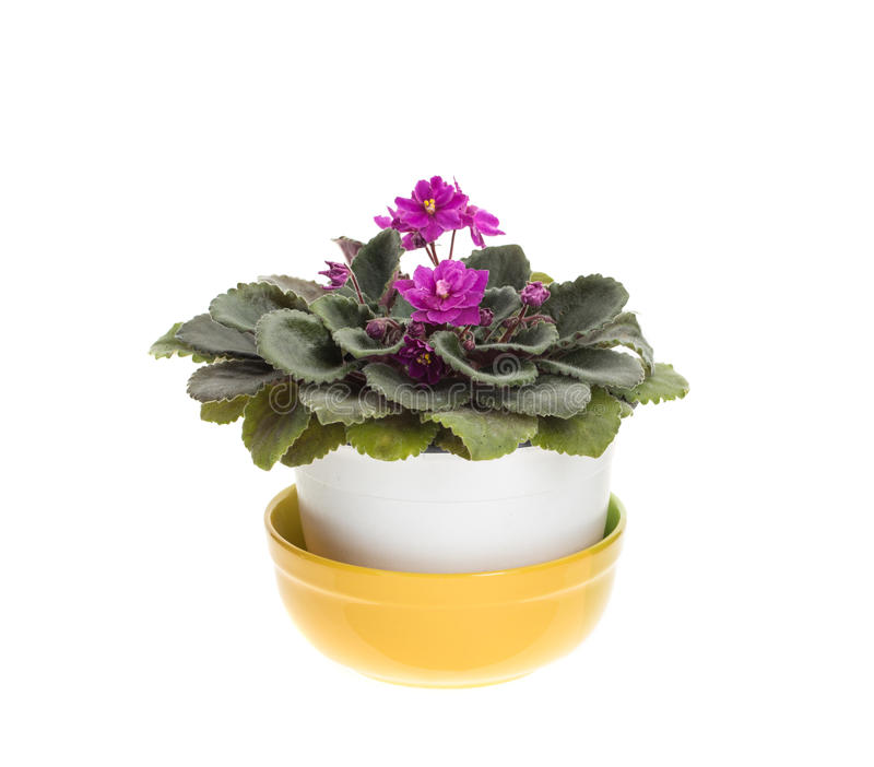 Belles fleurs violettes domestiques photographie stock