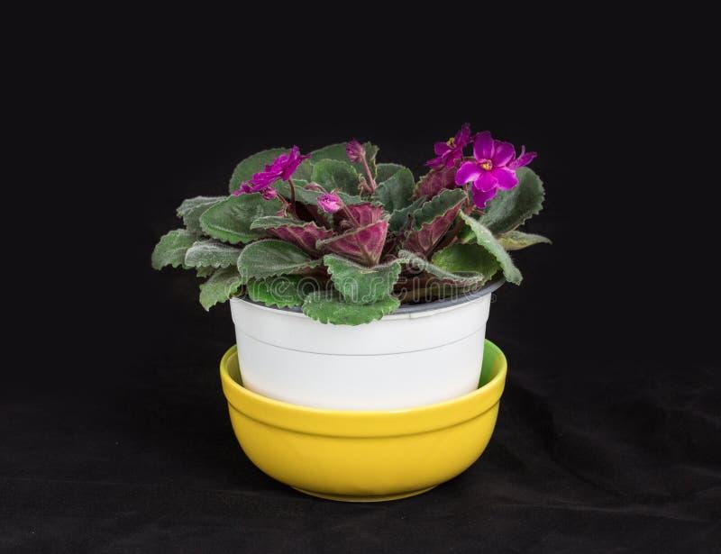 Belles fleurs violettes domestiques photo stock