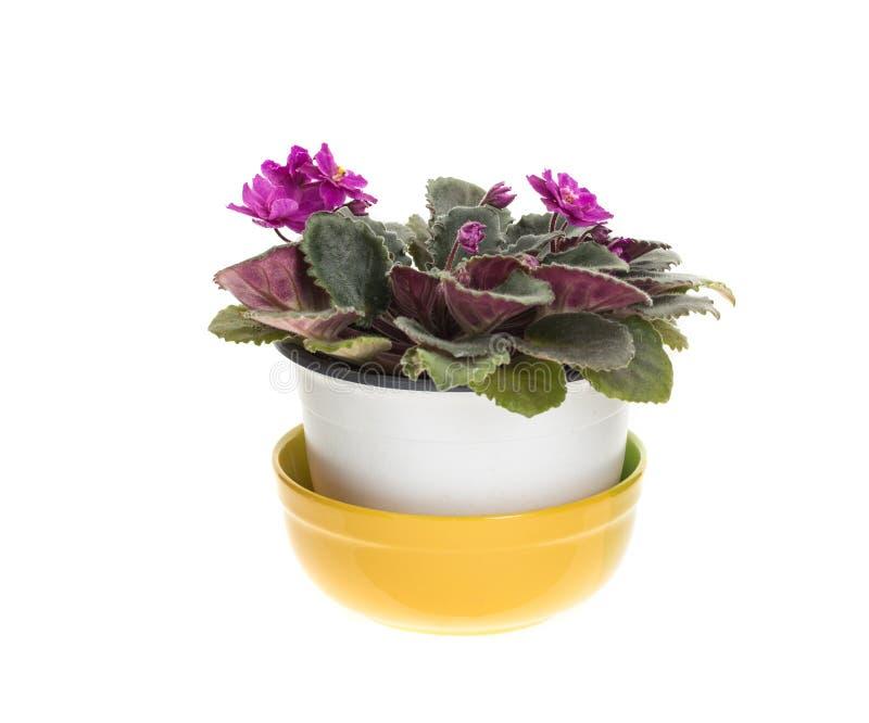Belles fleurs violettes domestiques image stock