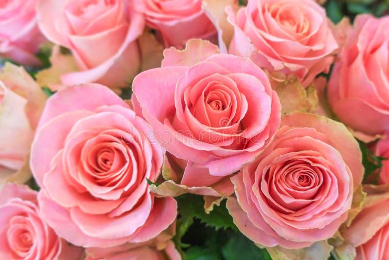 Belles, fraîches roses, couleur rose image stock