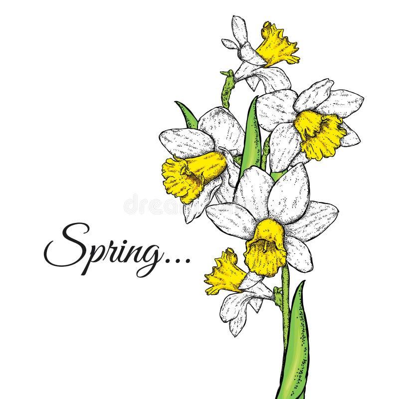 Belles jonquilles Illustration de vecteur Bouquet des fleurs de source illustration libre de droits
