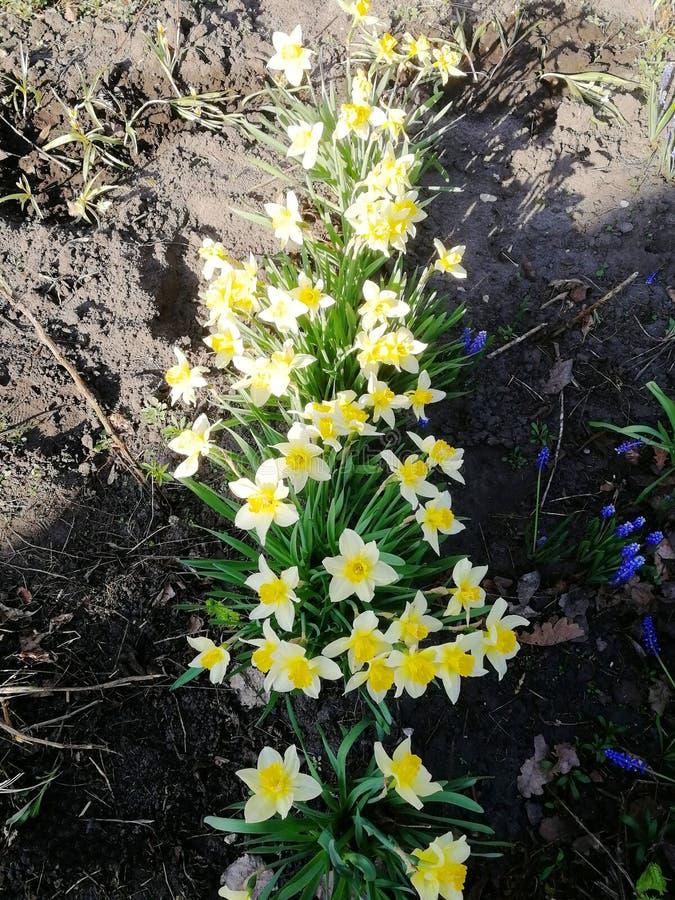 Belles jonquilles jaunes blanches de fleurs dans le jardin image stock
