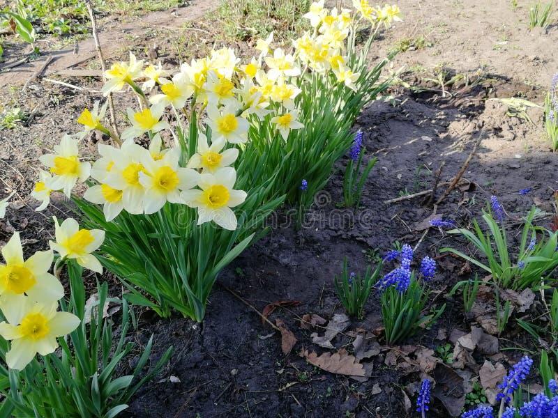 Belles jonquilles jaunes blanches de fleurs dans le jardin images libres de droits