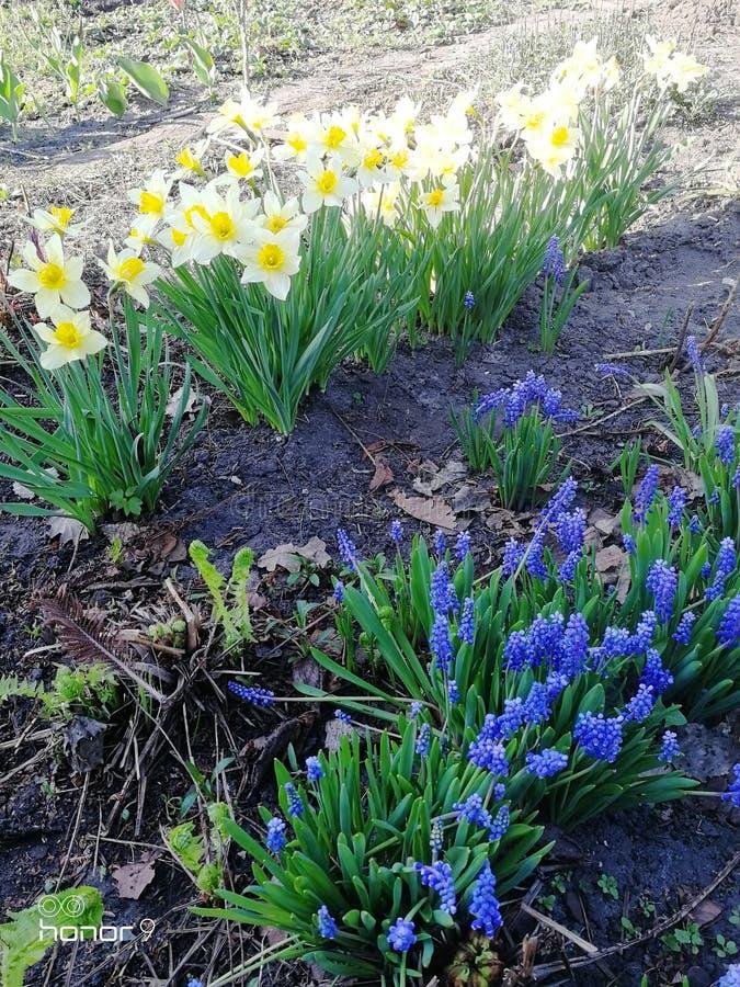 Belles jonquilles jaunes blanches de fleurs dans le jardin photos stock