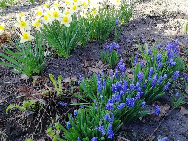 Belles jonquilles jaunes blanches de fleurs dans le jardin image libre de droits