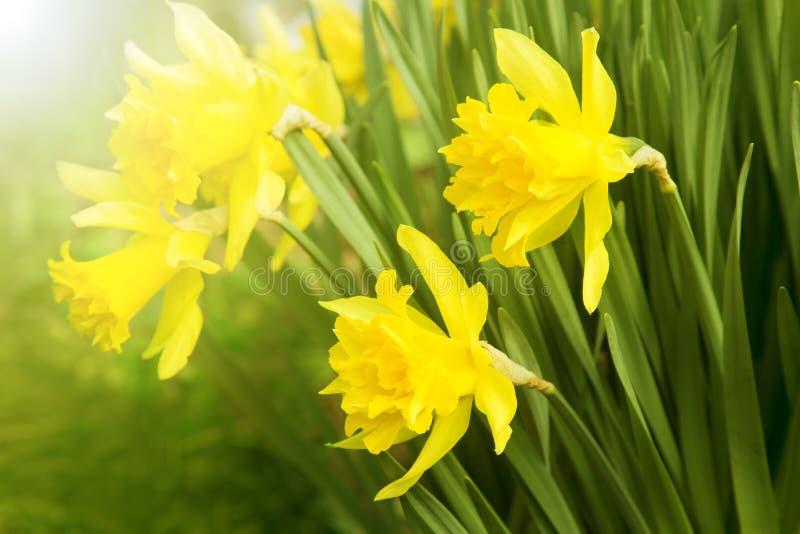 Belles jonquilles jaunes de floraison image libre de droits