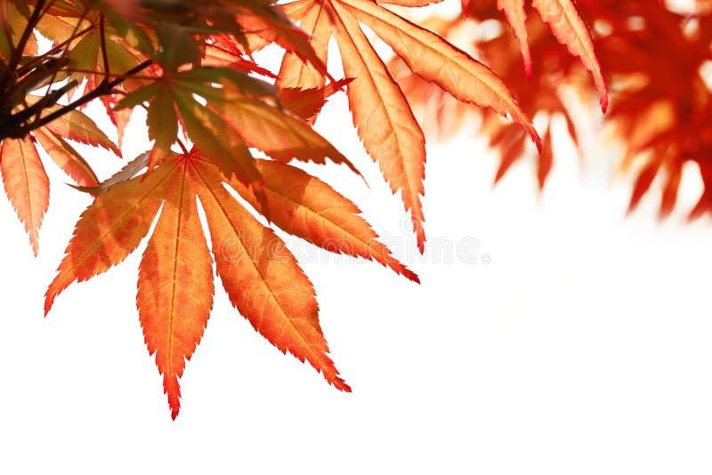 Belles lames d'érable d'automne images libres de droits