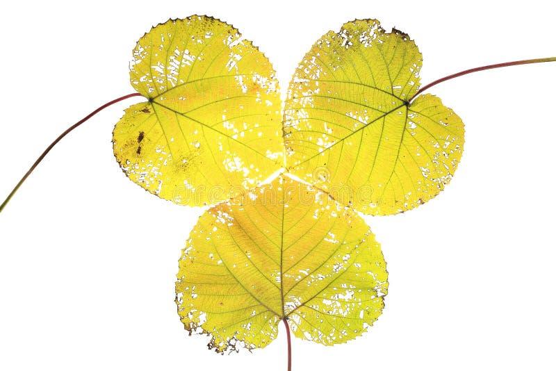 Belles lames d'automne colorées de ramassage photo libre de droits