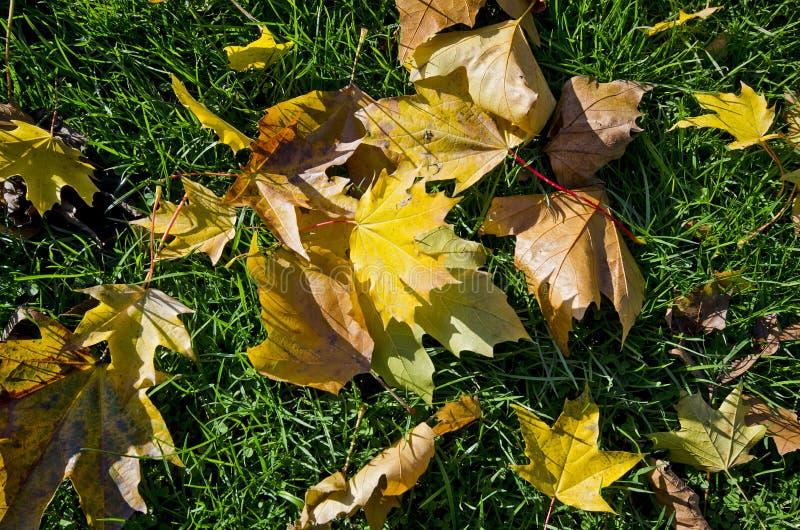 Belles lames d'automne vives sur une herbe verte image stock