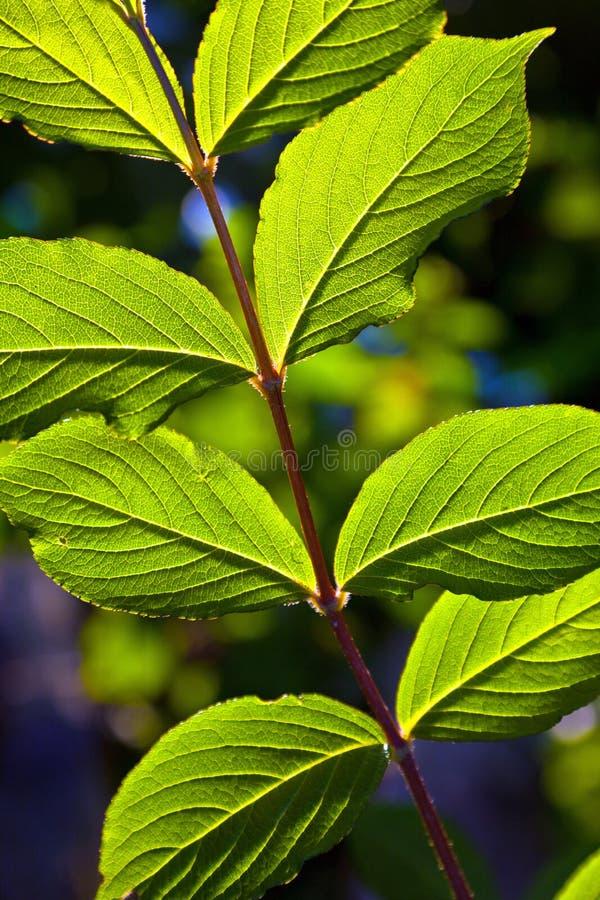 Belles lames d'un arbre de hazlenut photographie stock libre de droits