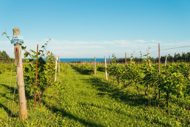 Belles lignes des raisins photos libres de droits