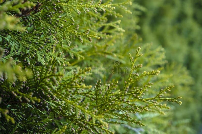 Belles, lumineuses branches à feuilles persistantes de thuja, journée de printemps wallpaper photographie stock libre de droits